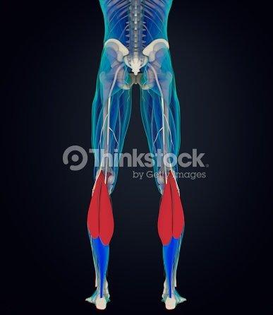 anatomía de pantorrillas