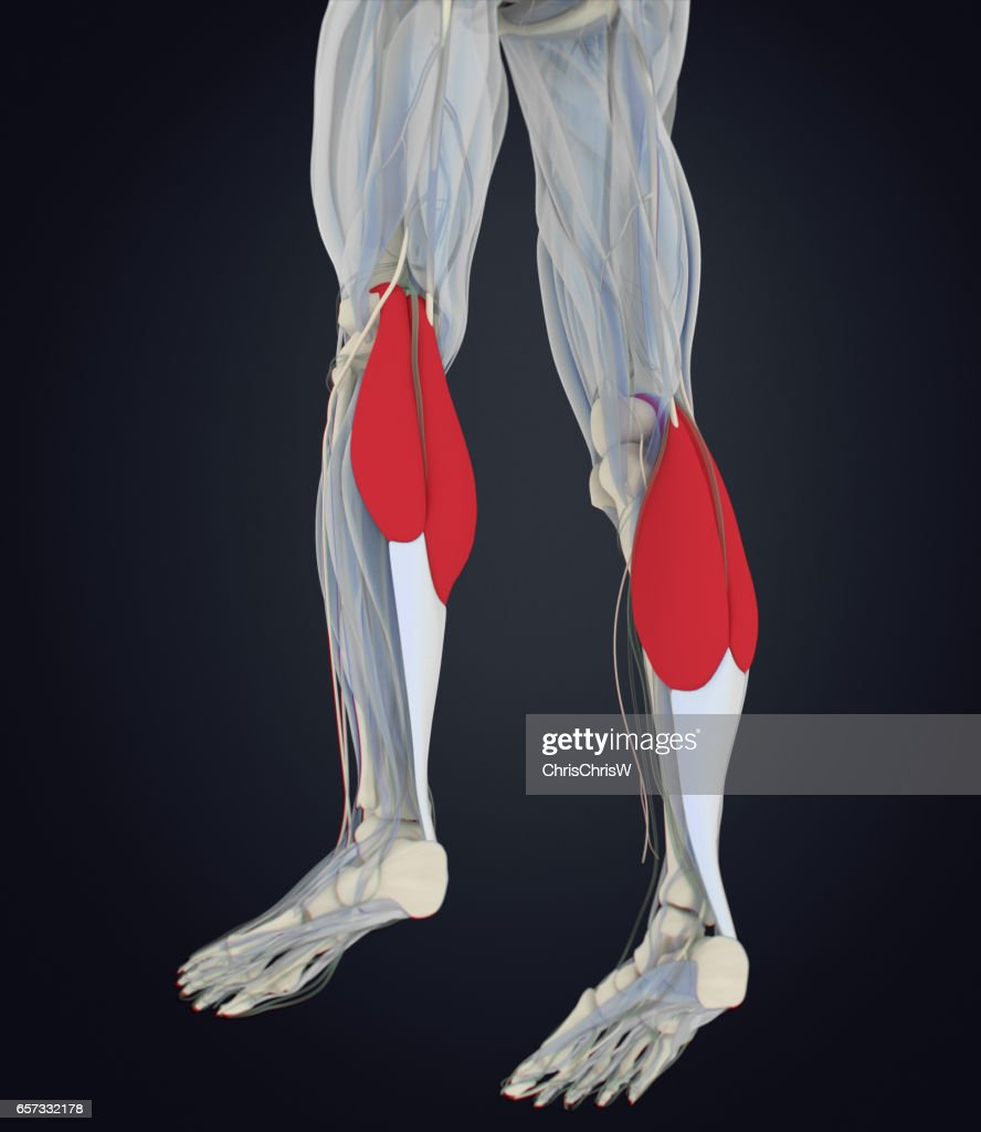 Calf Muscles Human Anatomy Gastrocnemius 3d Illustration Stock ...