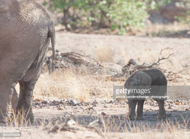 calf of desert elephant. - desert elephant stock pictures, royalty-free photos & images