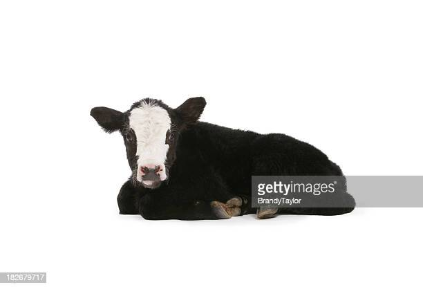calf - calf stock pictures, royalty-free photos & images