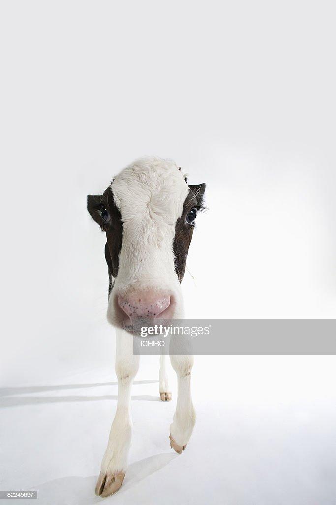 Calf  : Stock Photo