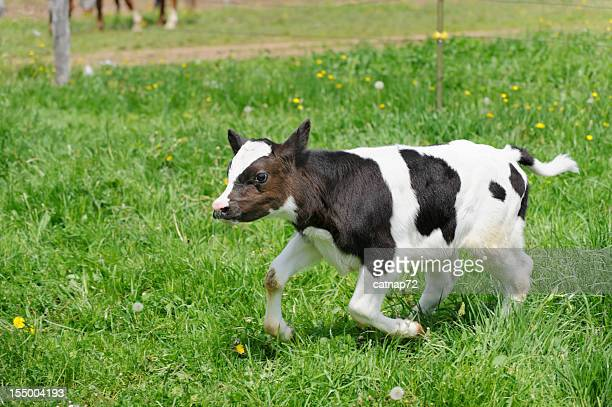 calf running in pasture grass, holstein dairy cow - calf stock pictures, royalty-free photos & images