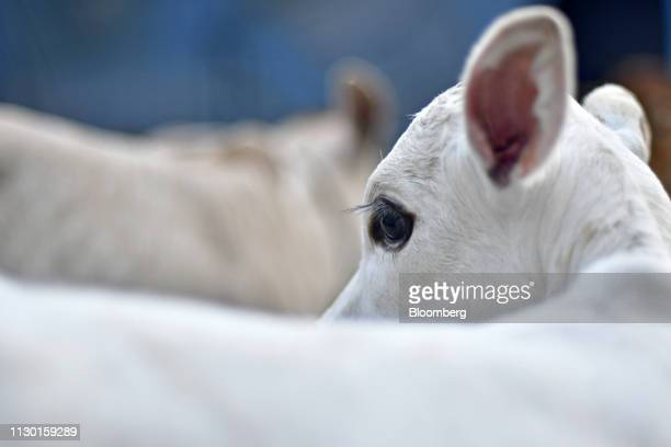 A calf stands at a cow shelter in cow shelter in Aligarh Uttar Pradesh India on Tuesday Feb 19 2019 A clampdown by Prime Minister Narendra Modi...