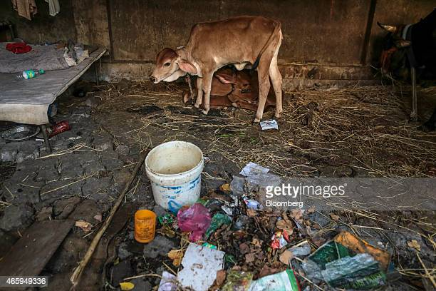 A calf stands by another in a cow shelter known as a goshala in Mumbai India on Tuesday March 10 2015 The government of the state of Maharashtra last...
