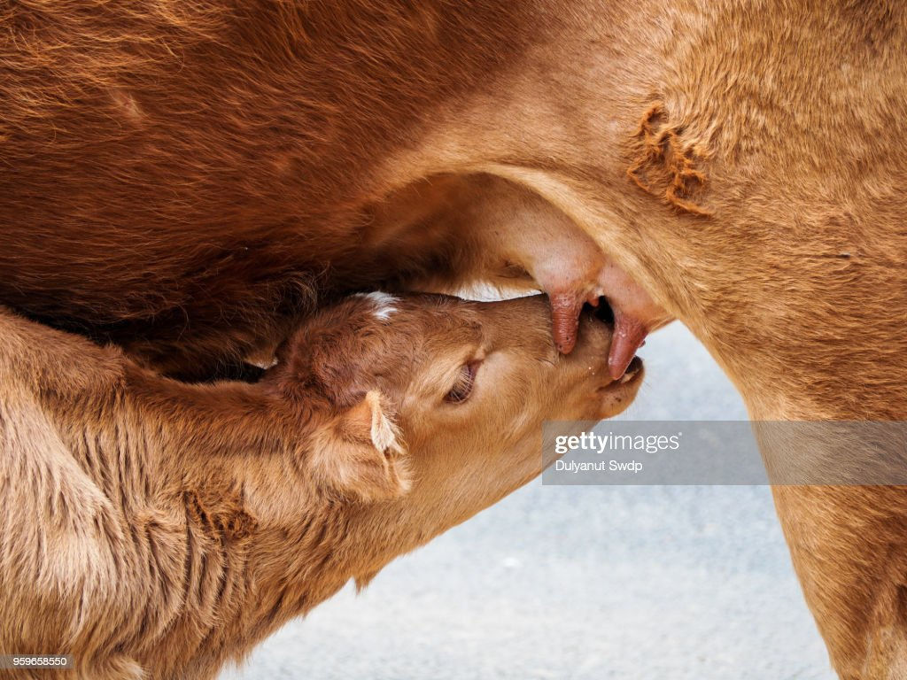 Calf suckling milk in morning, Young calf drinks milk from his mother : Stock-Foto