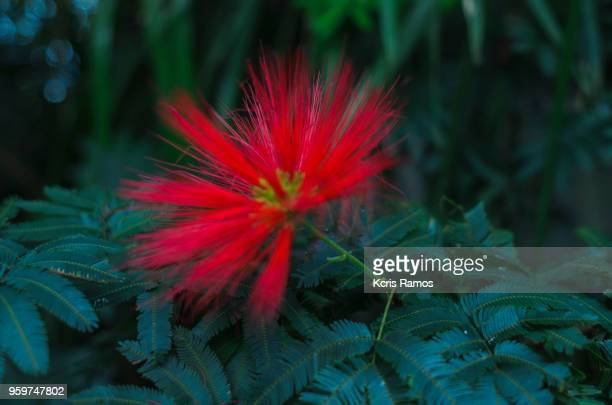 caliandra (calliandra dysantha) indicated for impatient and intolerant people, endowed with agitation, who present difficulty of concentration, loquacity, desperation to ask and lack of patience to wait for the answer. also indicated in pictures of hurt a - sud foto e immagini stock