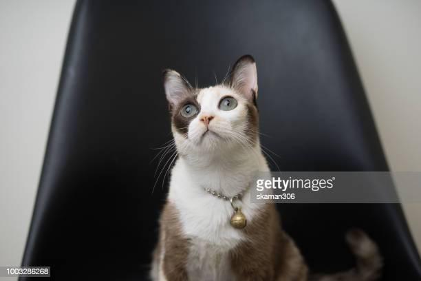 calico cat tri color of siamese cat