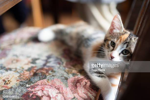Calico Kitten Lying on a Chair