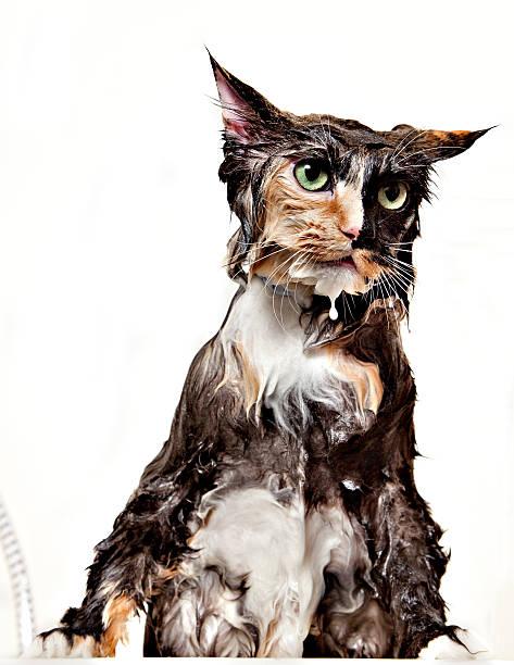 Calico Wet Cat isolated