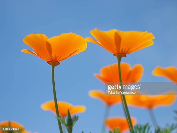 califorian poppies reaching for sun - for stock pictures, royalty-free photos & images