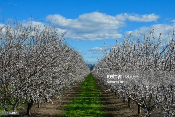 California almond orchard in bloom under a clouded blue sky.