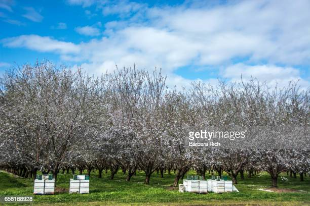 California almond orchard in bloom under a clouded blue sky with beehives to help with pollination