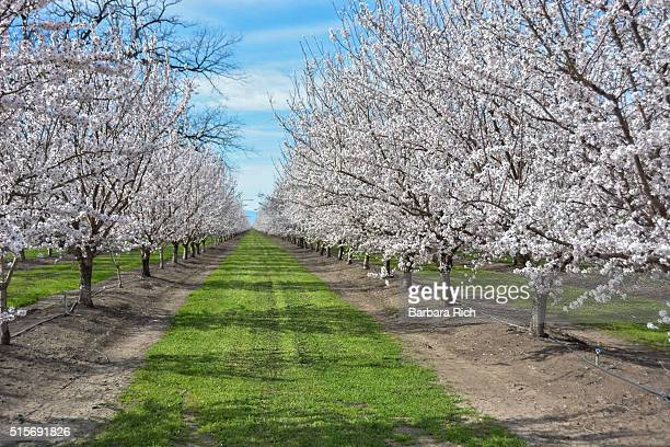 California almond orchard in bloom under a hazy blue sky.