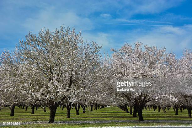 california almond orchard in bloom under a hazy blue sky. - almond orchard stock photos and pictures