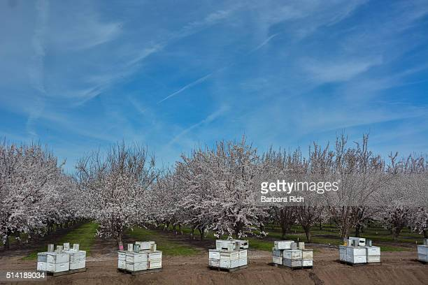 California almond orchard in bloom with beehives lined up in front under a blue sky.