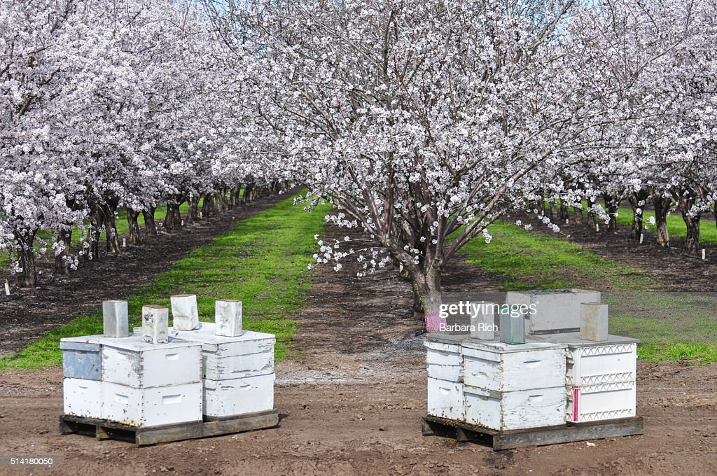 California almond orchard in bloom with beehives lined up in front to aid in pollination of the nuts. : Stock Photo