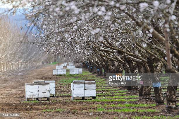 California almond orchard in bloom with beehives to aid in pollination.