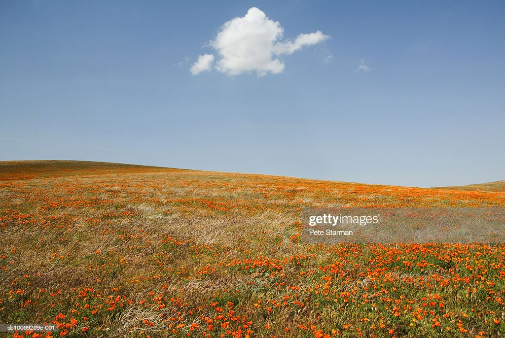 USA, California, Antelope Valley, California Poppy Reserve, meadow : Stockfoto