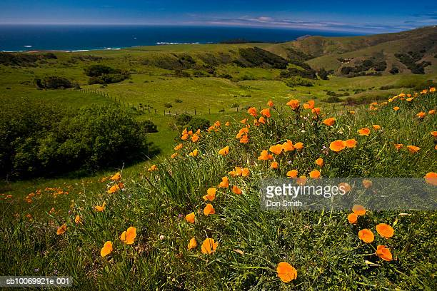 usa, california, big sur coastline, field of poppies, close-up - don smith stock pictures, royalty-free photos & images