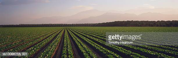usa, california, brawley, field of romaine lettuce - timothy hearsum photos et images de collection