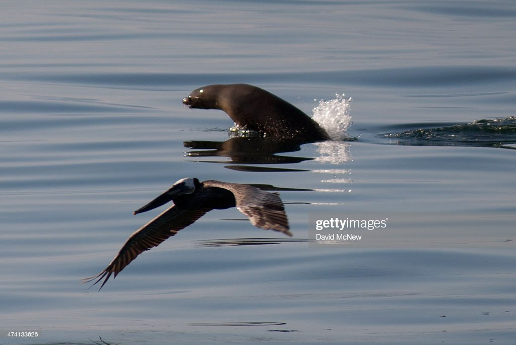 A California brown pelican and California sea lion fish in oil-contaminated water from an inland oil spill near Refugio State Beach on May 20, 2015 north of Goleta, California. About 21,000 gallons spilled from an abandoned pipeline on the land near Refugio State Beach, spreading over about four miles of beach within hours. The largest oil spill ever in U.S. waters at the time occurred in the same section of the coast where numerous offshore oil platforms can be seen, giving birth to the modern American environmental movement.