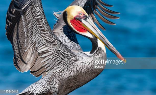 california brown pelican, pelecanus occidentalis californicus - brown pelican stock photos and pictures
