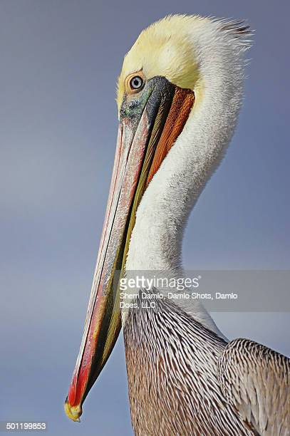california brown pelican - damlo does imagens e fotografias de stock