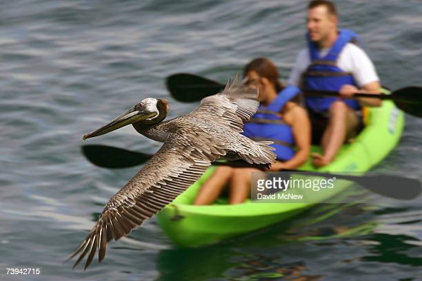 California brown pelican with a typical wingspan of 6 1/2 to 7 1/2 feet flies past a pair of kayakers at La Jolla Cove on the eve of Earth Day on...