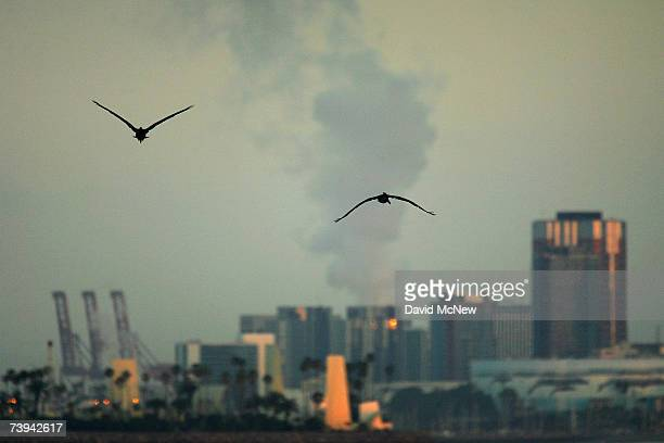 California brown pelicans fly toward downtown Long Beach California at sunrise on the eve of Earth Day on April 21 2007 in Seal Beach California At...