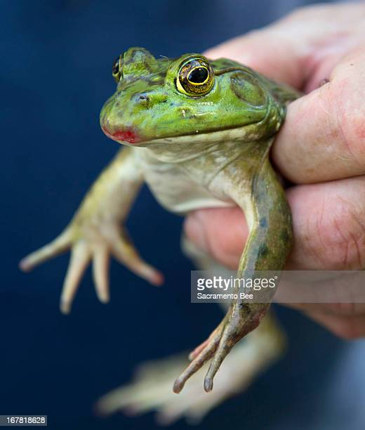 A California bullfrog waits for his turn to compete during the annual frog jump competition at the State Capitol in Sacramento California Monday...