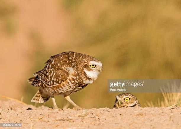 California Burrowing Owl