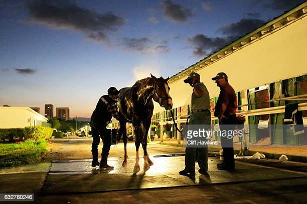 California Chrome is bathed after a morning workout prior to the $12 Million Pegasus World Cup at Gulfstream Park on January 26 2017 in Hallandale...