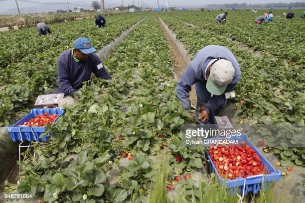 USA California city of Ventura mexicans croping strawberries // EtatsUnis Californie Ville de Ventura mexicains ramassant des fraises