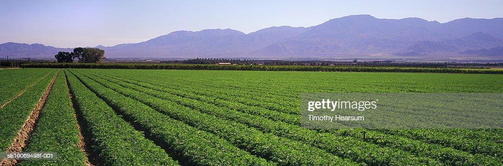 USA, California, Coachella Valley, carrot field and mountain range, panoramic view : Stock Photo