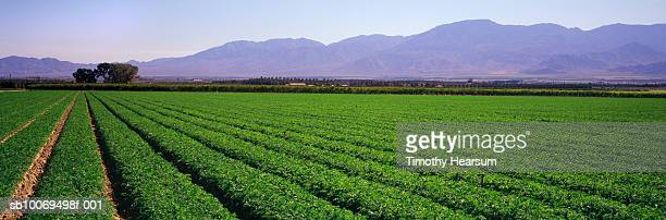 usa, california, coachella valley, carrot field and mountain range, panoramic view - timothy hearsum stock pictures, royalty-free photos & images