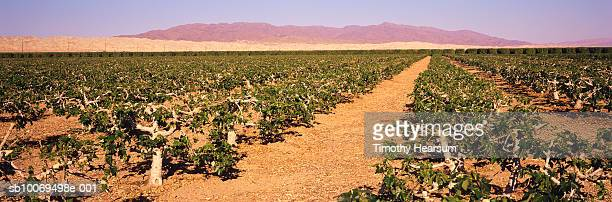 usa, california, coachella valley, fig tree orchard, panoramic view - timothy hearsum stock pictures, royalty-free photos & images