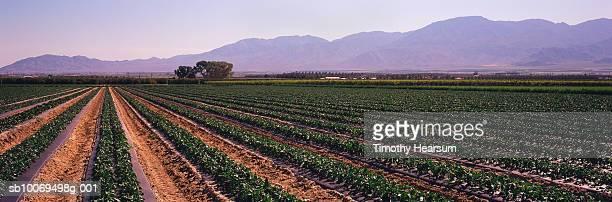 usa, california, coachella valley, pepper field and mountain range, panoramic view - timothy hearsum stock-fotos und bilder