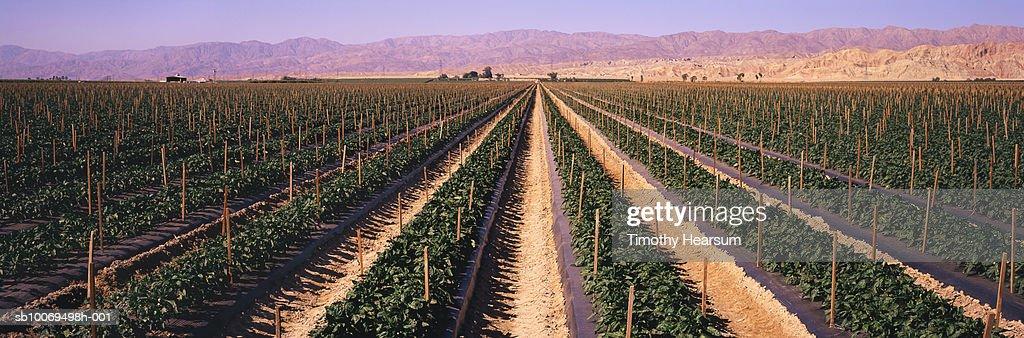 USA, California, Coachella Valley, pepper field and mountain range, panoramic view : Stock Photo