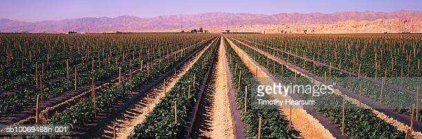 usa, california, coachella valley, pepper field and mountain range, panoramic view - timothy hearsum stock pictures, royalty-free photos & images