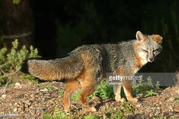 california coastal grey fox - gray fox stock photos and pictures