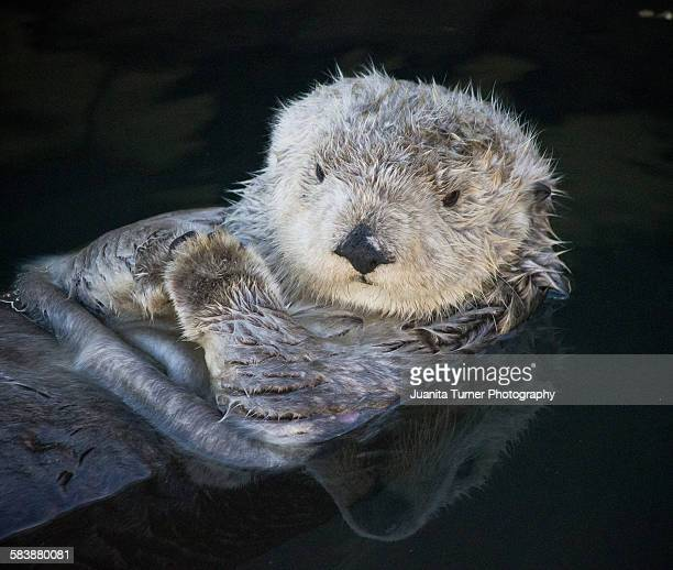 california coastal sea otter - sea otter stock photos and pictures