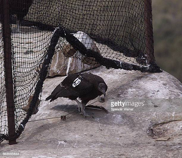 California Condor @@#262 which was taken as an egg from the wild last year the young condor exited the holding pen without assistance the other two...