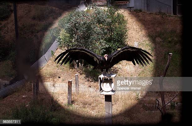 A California Condor as seen through small opening in observation room at Los Angeles Zoo the birds are not exposed to humans whenever possible The...