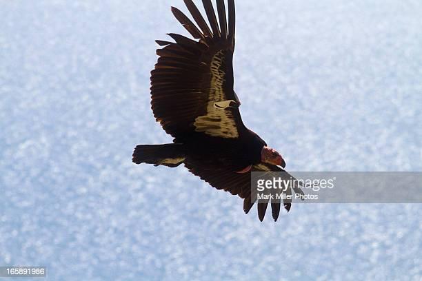 california condor at big sur, california - california condor stock photos and pictures
