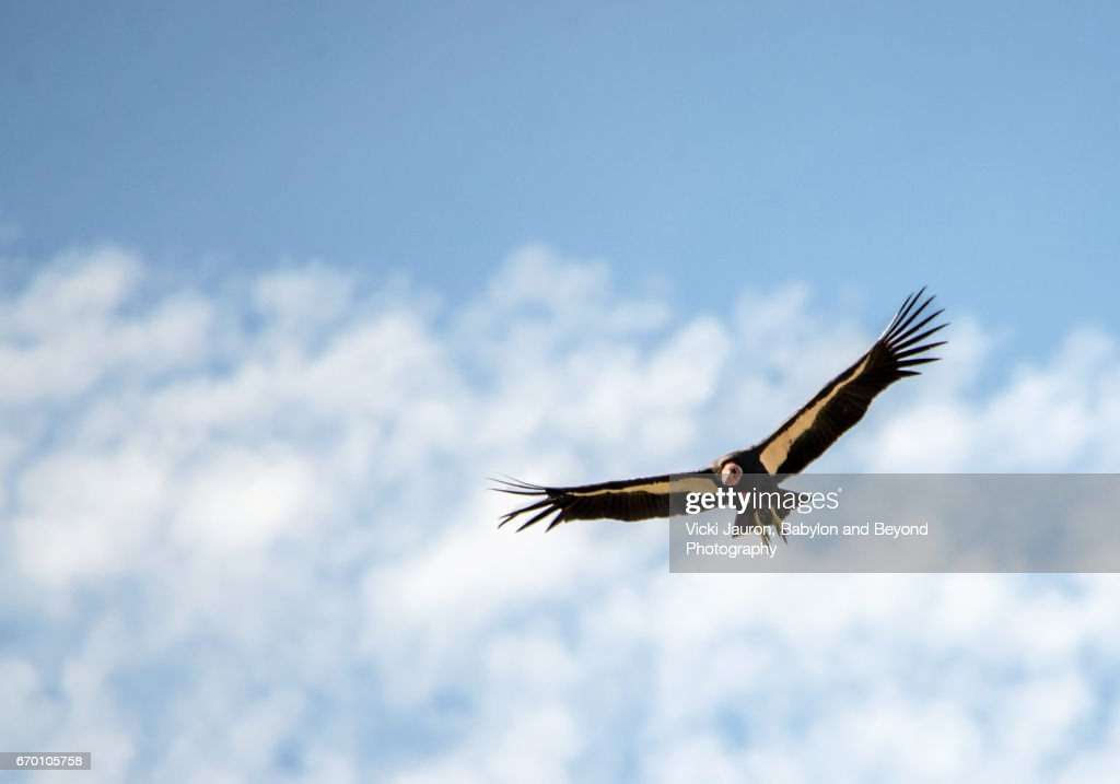 California Condor Flying Against Blue Sky and Clouds at Pinnacles National Park : Stock Photo