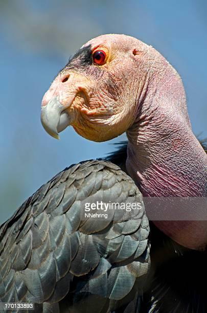 gymnogyps californianus, gymnogyps californianus, siga - california condor - fotografias e filmes do acervo