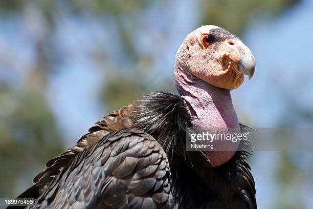 california condor  gymnogyps californianus - california condor stock photos and pictures