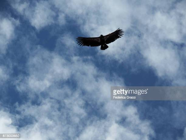 california condor number 4 flying over angels landing, utah - california condor stock photos and pictures