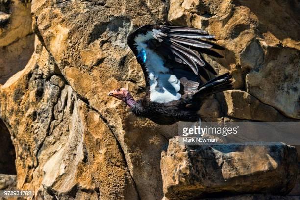 california condor - california condor stock photos and pictures