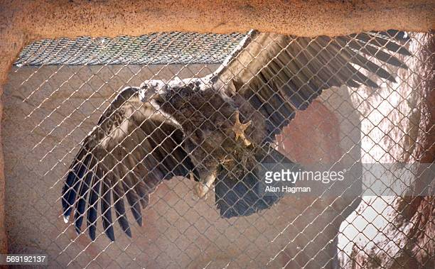 A California Condor stretches his wings in a rearing facility at the Hopper Mountain National Wildlife Refuge Complex where California Condors are...